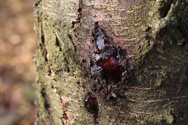 Лечение абрикоса: как бороться с болезнями косточковых деревьев. меры профилактики