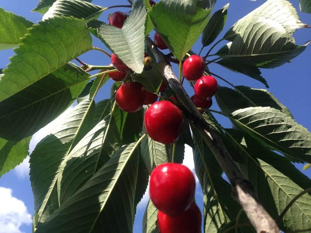 Особенности посадки и ухода за черешней сорта брянская розовая
