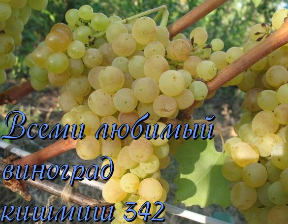 Виноград кишмиш 342: описание и выращивание сорта