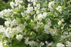 Растение чубушник (садовый жасмин): фото, описание кустарника, выращивание и обрезка садового жасмина