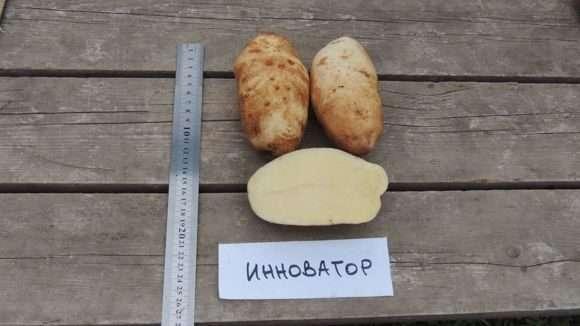 Картофель Инноватор: характеристика, посадка и уход