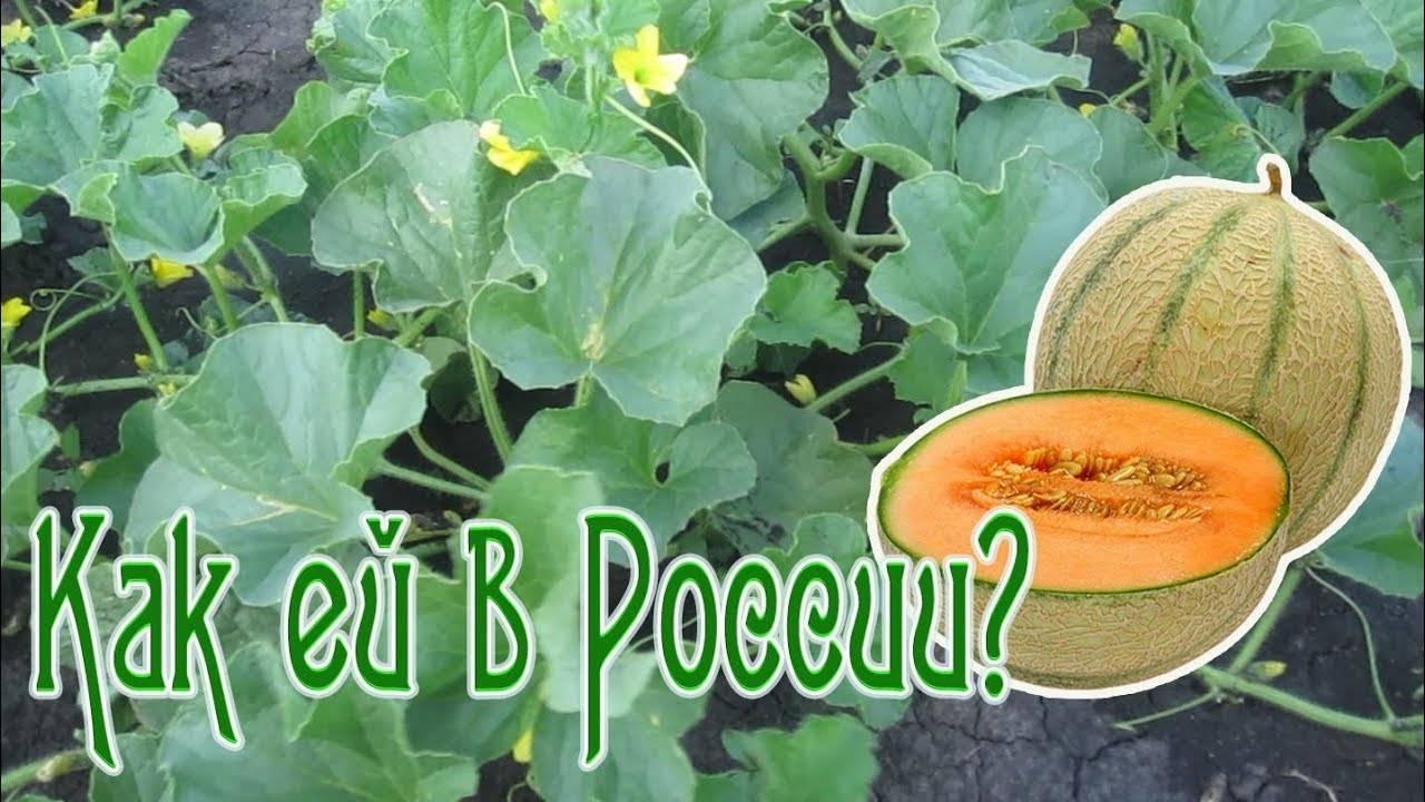 Дыня канталупа — сладкий и ароматный плод, весом до 1,5 кг