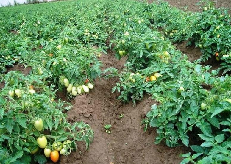 Посадка рассады томатов в теплицу и открытый грунт