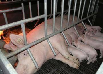Отъем поросят от свиноматки