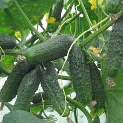 Несколько способов вырастить урожайные огурцы зятек f1