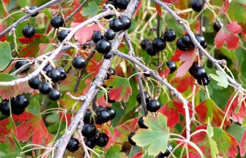 Характеристика, виды и правила выращивания дикой смородины