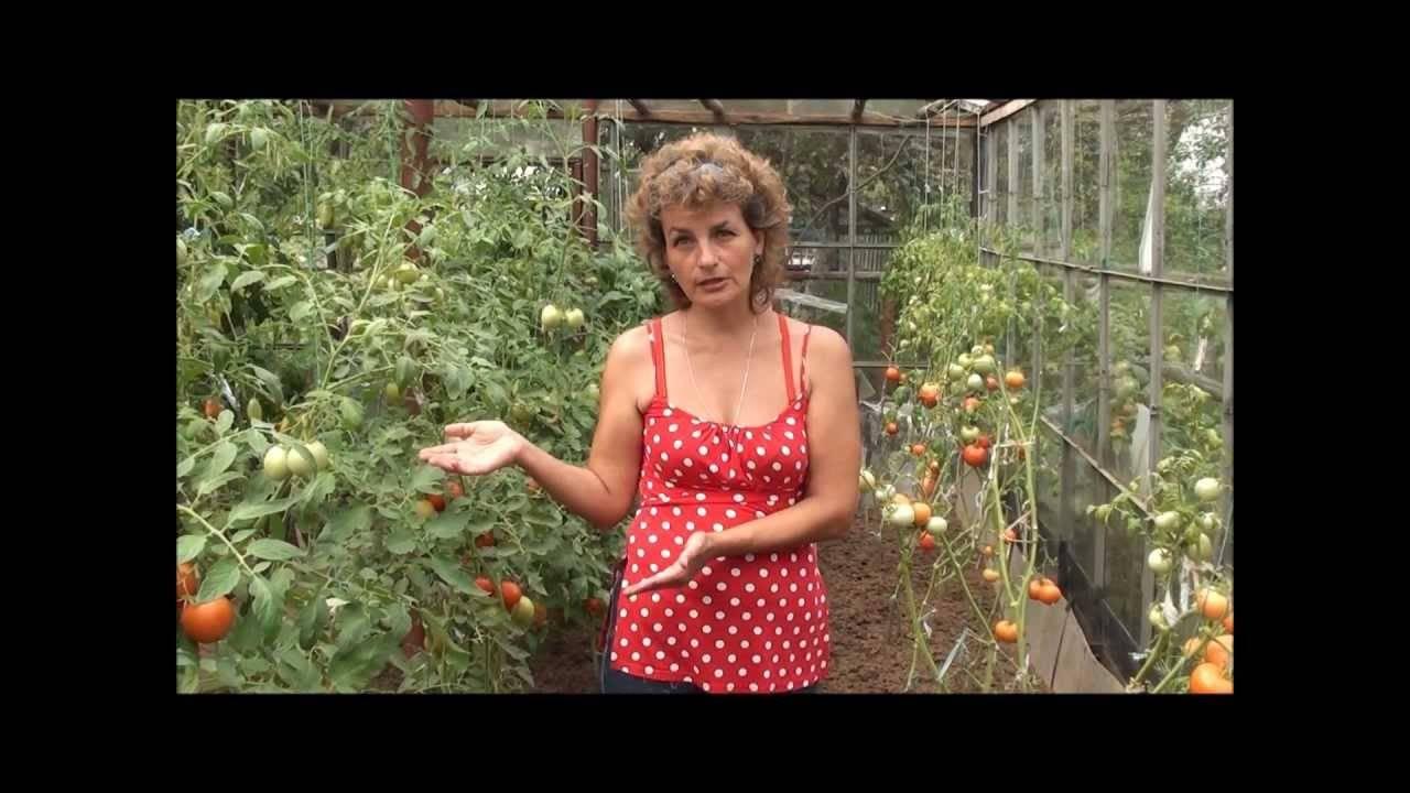 Сорта томатов устойчивые к фитофторозу
