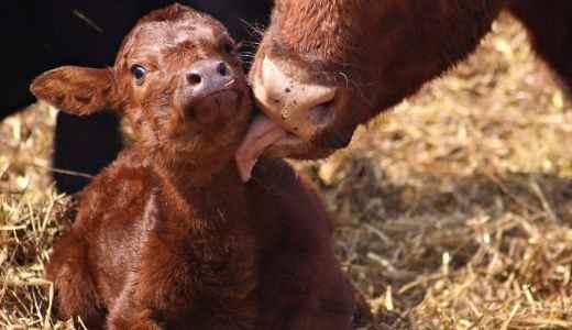 Выкидыш у коровы и нет молока после этого
