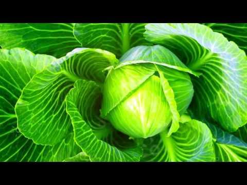 Белокочанная капуста. польза и вред, полезные свойства, противопоказания