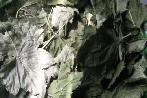 Когда собирать листья смородины на зиму и как сушить