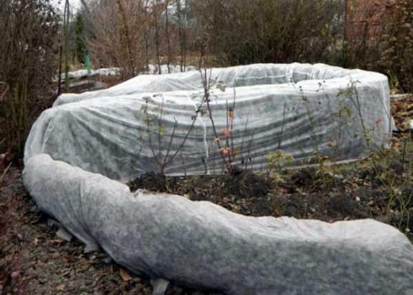 Актинидия — уход осенью и подготовка к зиме