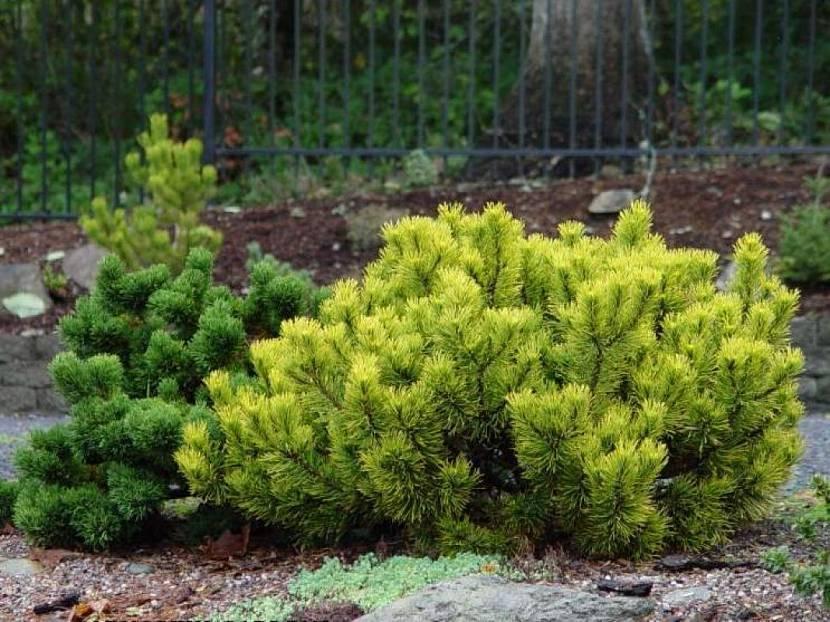 Сосна горная пумилио: посадка и уход, особенности выращивания и размножения