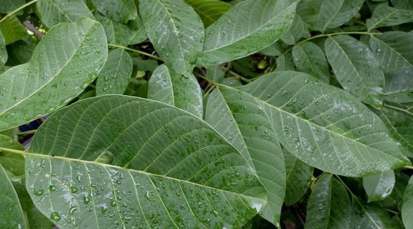 Листья грецкого ореха: природное снадобье, за которым стоит лишь протянуть руку. самое время заготовить их впрок.