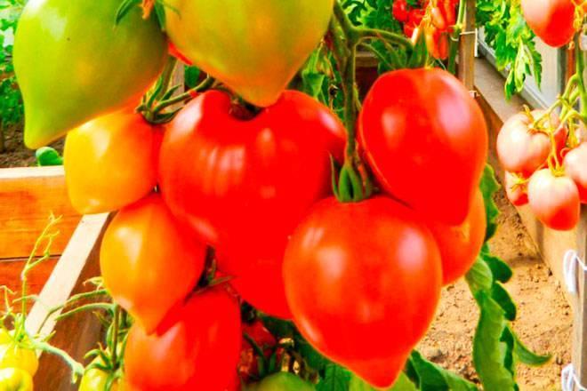 Томат Хали-гали: отзывы, фото, урожайность