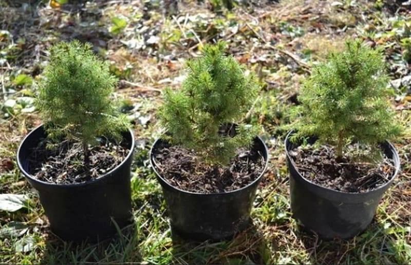 Обзор популярных сортов и секреты выращивания карликовых пихт