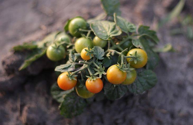 Сезонная обработка помидоров от различных болезней
