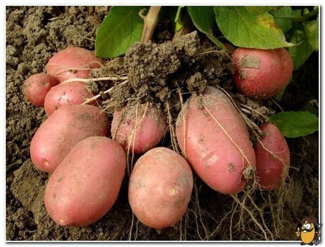 Как вырастить картофель сорта лапоть без забот