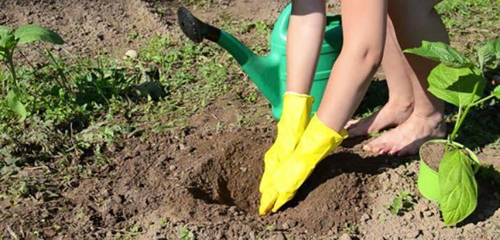 ️ 4 лучших сорта баклажан на моей даче. отличный урожай даже в сибири