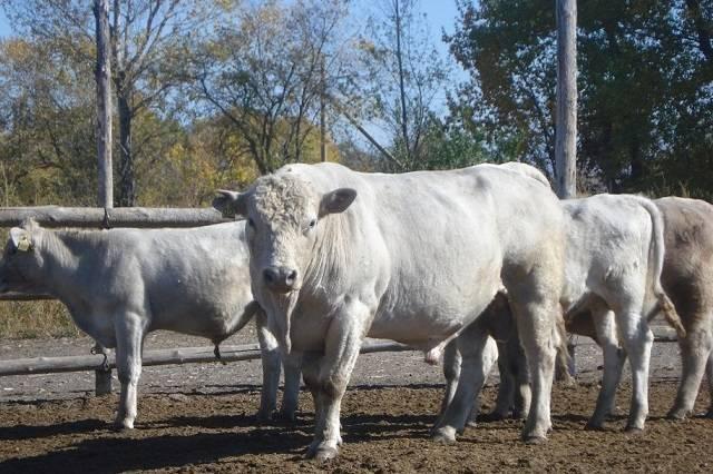Коровы калмыцкой породы: особенности, продуктивность, и содержание