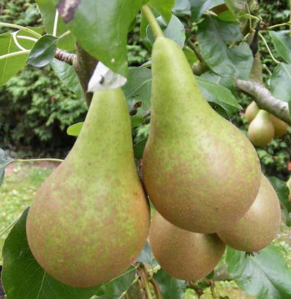 Плюсы выращивание раннезимнего сорта груши елена
