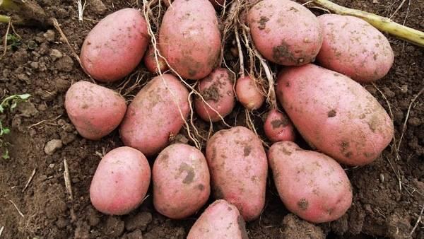 Описание сорта картофеля ред леди – 6 достоинств сорта