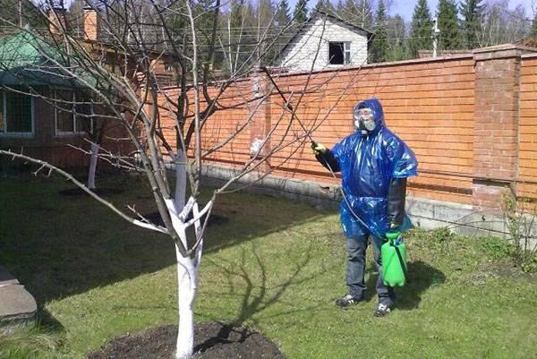 Почему лопаются абрикосы на дереве?