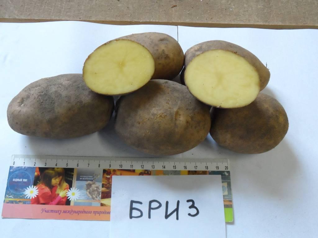Описание картофеля бриз, характеристика сорта, отзывы