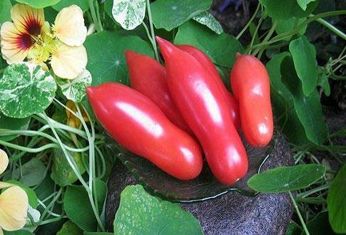 Преимущества томатов дамские пальчики и советы по выращиванию
