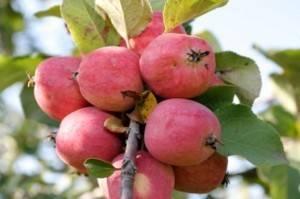 Зимний сорт яблок: пепин шафранный