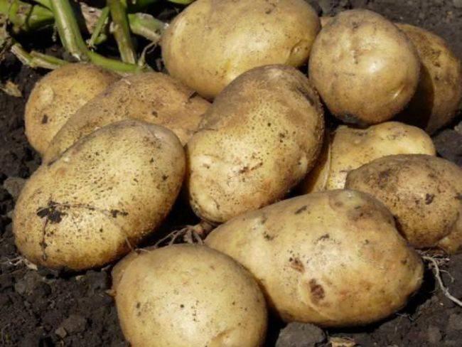 Лучшие сорта картофеля: описание, фото