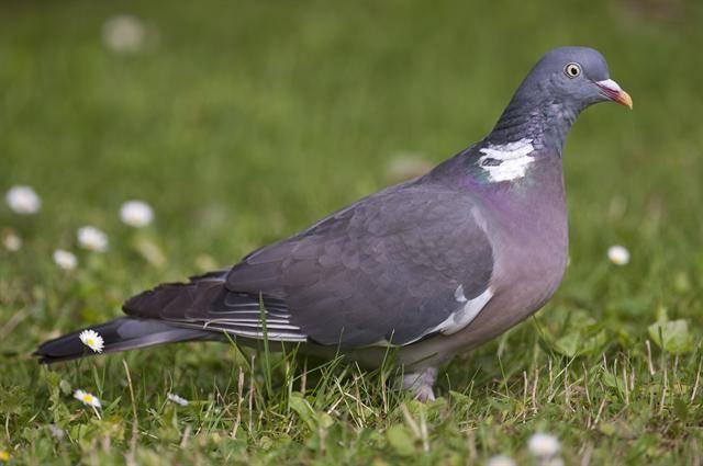 Красота дикой природы: лесной голубь вяхирь