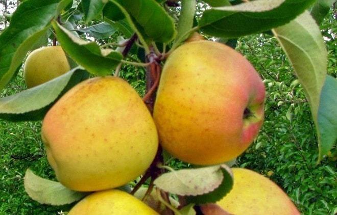 Описание сорта яблони «старкримсон»: преимущества и слабости