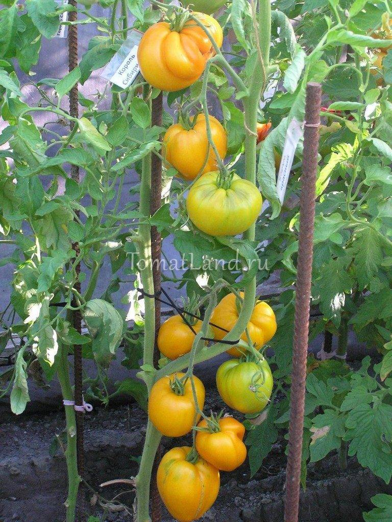 Томат гордость сибири: характеристика и описание сорта, отзывы, фото, урожайность