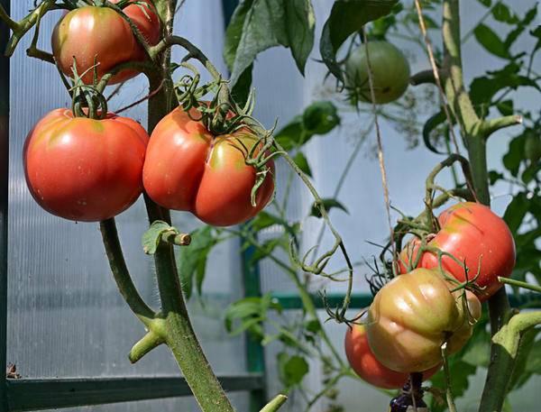 Томат розовый мед: состав, особенности ухода и советы по сбору урожая (135 фото)