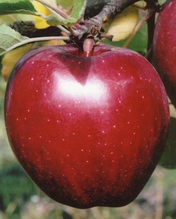 Эффектный внешне привет родом из америки — сорт яблонь старкримсон