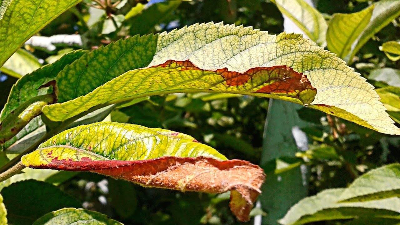 Черешня не распускает листья весной: разъясняем обстоятельно