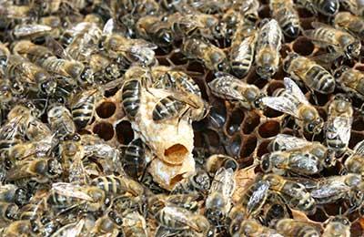 Матка - трутовка   практическое пчеловодство