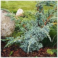 Можжевельник мейери: способы посадки и правильный уход за растением