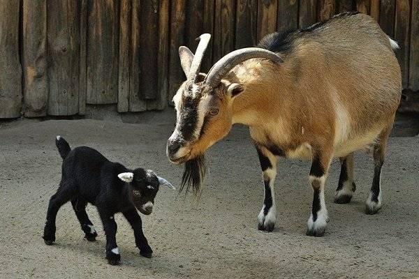 Карликовые камерунские козы: особенности и содержание