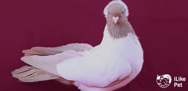 Немецкий крестовый монах голубь