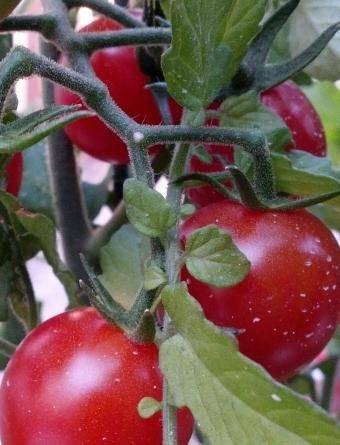 Голландские помидоры сорта