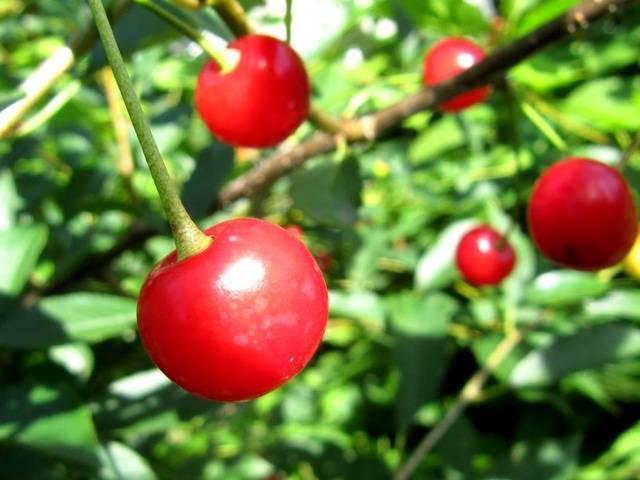 Сорт вишни ночка (дюк)