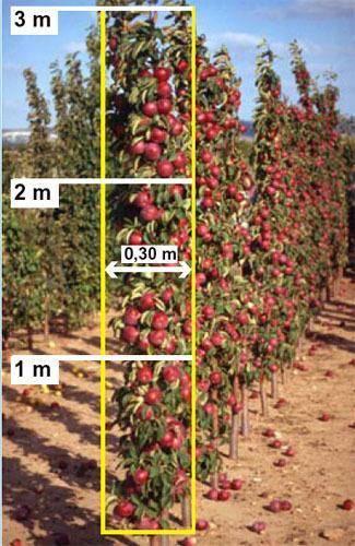 Формирование кроны и обрезка яблонь: особенности процесса в весенне-осенний период