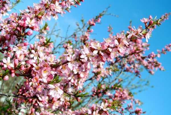 Сортовые деревья миндаля