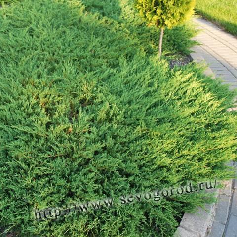 Можжевельник прибрежный шлягер (juniperus conferta schlager)