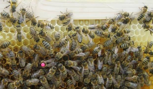 Слуги природы или кто такие дикие пчелы?