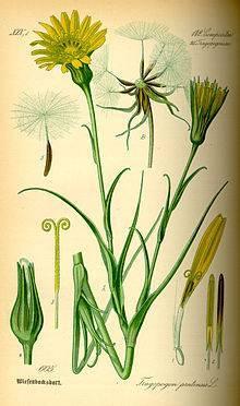 Козлобородник луговой — википедия. что такое козлобородник луговой