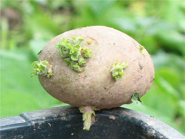 Проращивание картофеля перед посадкой: пять лучших способов, условия и рекомендации
