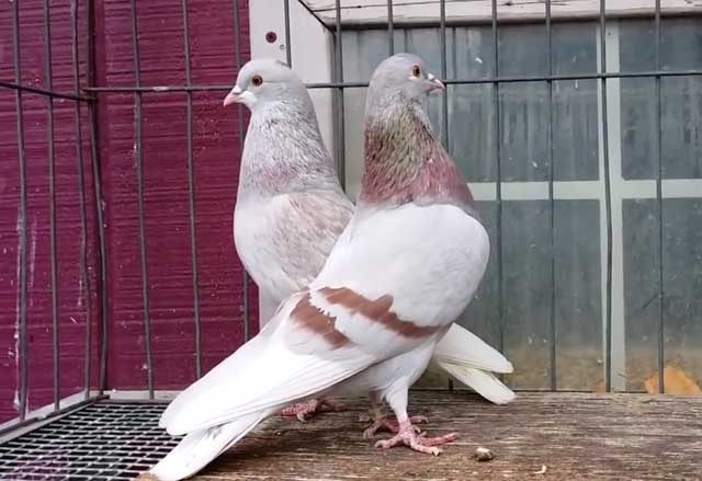 Мясные голуби: породы и особенности содержания