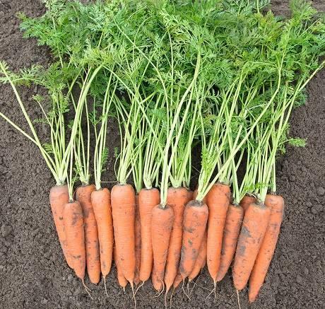 Морковь вита лонга — описание, фото, характеристика, особенности выращивания